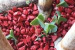Gravier Rockin Chili Red - MES